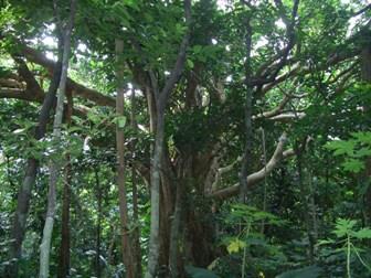 がじゅまろの木