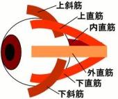 目の筋肉 5