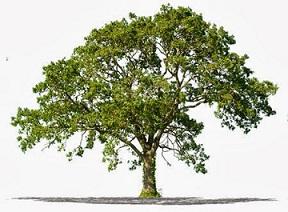 tisoku tree